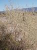 Big saltbush - Atriplex lentiformis (ATLE)