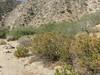 hairy yerba santa - Eriodictyon trichocalyx (ERTR7)