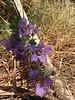 catchfly prairie gentian - Eustoma exaltatum (EUEX5)