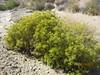 threadleaf snakeweed - Gutierrezia microcephala (GUMI)