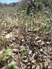 wingnut cryptantha - Cryptantha pterocarya var. cycloptera (CRPTC)