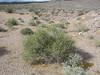 Desert Indianwheat - Plantago ovata (PLFA)