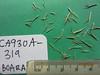 Needle grama - Bouteloua aristidoides var. aristidoides (BOARA)