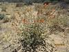 Apricot globemallow - Sphaeralcea ambigua ssp. ambigua (SPAMA3)