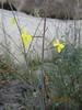 California suncup - Camissonia californica (CACA32)