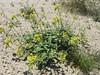 Peirson's browneyes - Camissonia claviformis ssp. peirsonii (CACLP3)