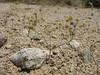 Yellowturbans - Eriogonum pusillum (ERPU6)