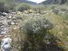 Acton's brittlebush - Encelia actonii (ENAC)