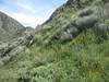 mountain fringepod - Thysanocarpus laciniatus (THLA3)