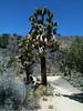Joshua tree - Yucca brevifolia (YUBR)