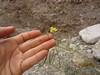 Walker's suncup - Camissonia walkeri ssp. tortilis (CAWAT)