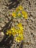 yellowray Fremont's-gold - Syntrichopappus fremontii (SYFR)