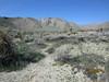 Mojave yucca - Yucca schidigera (YUSC2)
