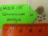 Apricot globemallow - Sphaeralcea ambigua ssp. ambigua (SPAMA)