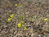 Gilman's evening primrose - Camissonia kernensis (CAKEG)