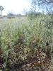 western tansymustard - Descurainia pinnata subsp. glabra (DEPIG)