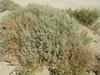 Cattle saltbush - Atriplex polycarpa (ATPO)