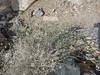 Sweetbush - Bebbia juncea var. aspera (BEJUA)