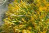 Mojave rabbitbrush - Ericameria paniculata (ERPA29)