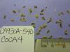 California tickseed - Coreopsis californica (COCA8)