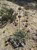Chia - Salvia columbariae (SACO6)
