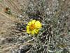 Acton's brittlebush - Encelia actoni (ENAC)