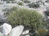 turpentinebroom - Thamnosma montana (THMO)