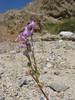 Arizona lupine - Lupinus arizonicus (LUAR4)