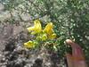 Snapdragon penstemon - Keckiella antirrhinoides ssp. antirrhinoides  (KEANA)