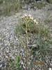 browneyes - Camissonia claviformis subsp. claviformis (CACLC3)