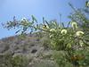 catclaw acacia - Senegalia greggii (SEGR4)