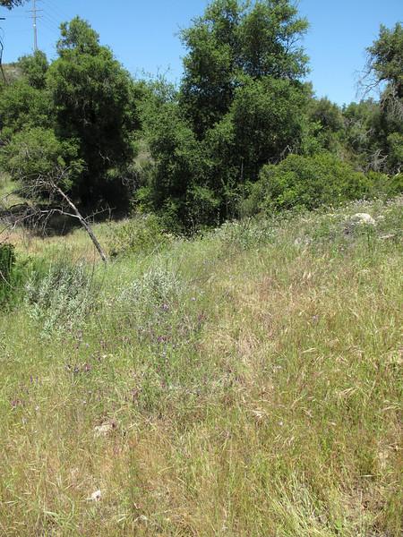 Tomcat clover - Trifolium willdenovii (TRWI3)