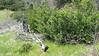 Dwarf checkerbloom - Sidalcea sparsifolia (SISP7)