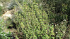 Whiteflower currant - Ribes indecorum (RIIN)