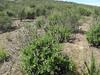 Black sage - Salvia mellifera (SAME3)