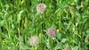 Rancheria clover - Trifolium albopurpureum (TRAL5)