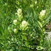 Sulphur Indian paintbrush - Castilleja sulphurea (CASU12)