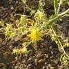 Adonis blazingstar - Mentzelia multiflora (MEMU3)