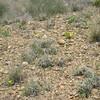 Baker's paperflower - Psilostrophe bakeri (PSBA2)