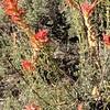 Wyoming Indian paintbrush - Castilleja linariifolia (CALI4)