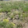 woolly plantain - Plantago patagonica (PLPA2)
