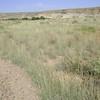 western tansymustard - Descurainia pinnata (DEPI)