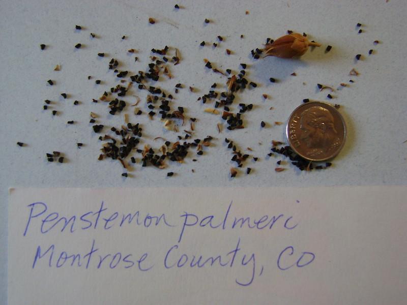 Palmer's penstemon - Penstemon palmeri (PEPA8)