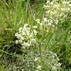 horsetail milkweed - Asclepias subverticillata (ASSU2)