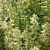 stinking milkvetch - Astragalus praelongus var. praelongus (ASPRP2)