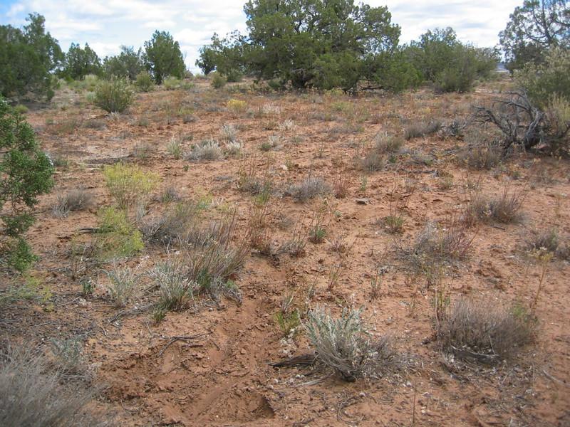 Woolly locoweed - Astragalus mollissimus var. thompsoniae (ASMOT)