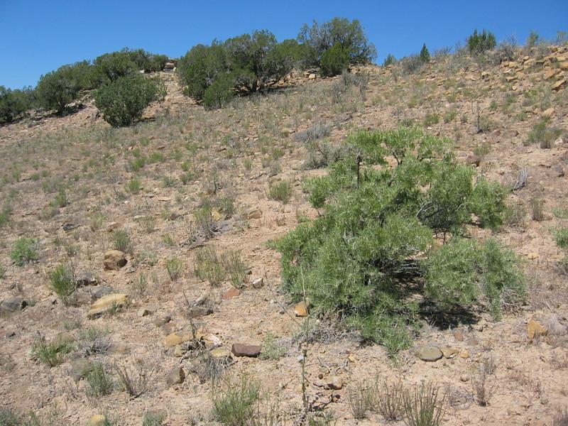 New Mexico thistle - Cirsium neomexicanum (CINE)