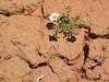 Annual Townsend daisy - Townsendia annua (TOAN)