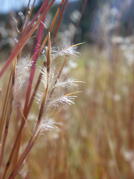 Little bluestem - Schizachyrium scoparium (SCSC)