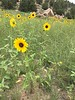common sunflower - Helianthus annuus